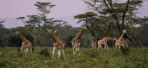 giraffes 2685352 640 300x139 - Kenya with drone