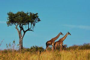 wildlife 1536582 640 300x200 - drones in Tanzania.